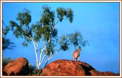 Red Kangaroo on a Rock - Photo Courtesy  NTTC